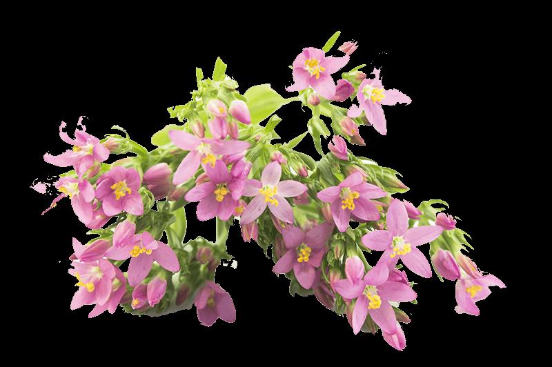 heilpflanzen erytathrea
