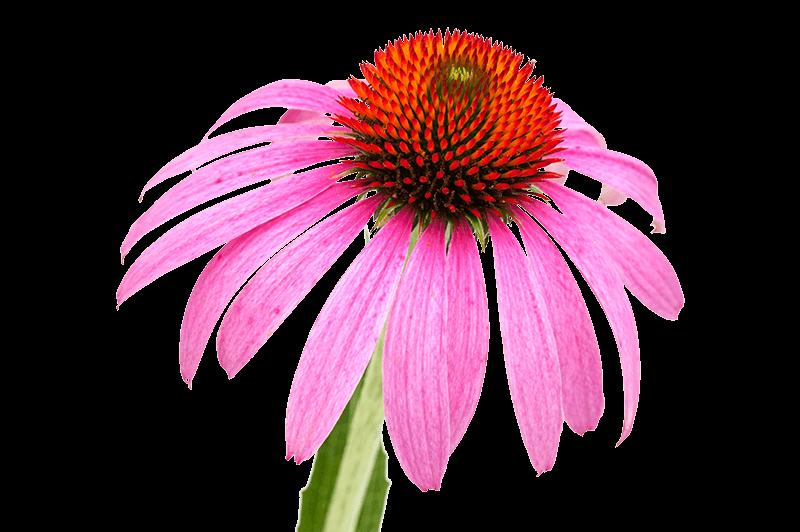 heilpflanzen sonnenhut
